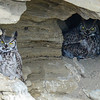Great Horned Owl - 2 adults with a nest in a cave
