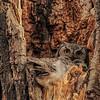 Great Horned Owl - mom on the nest