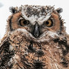 Great Horned Owl - owlet cold and in a snow storm staring me down