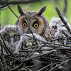 long-eared owl - adult and 4 owlets