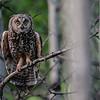 long-eared owl - adult
