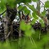 long-eared owl - adult on a nest