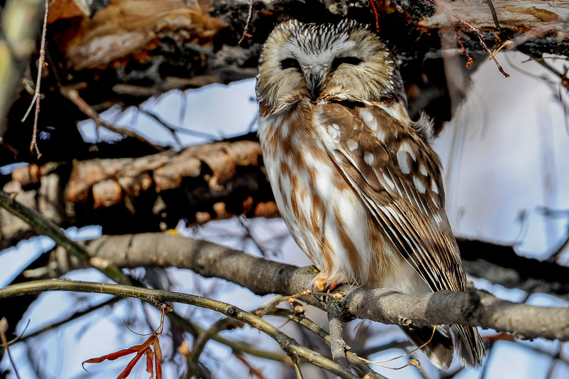 "northern saw-whet owl - <br /> A tiny owl with a catlike face, oversized head, and bright yellow eyes, the Northern Saw-whet Owl is practically bursting with attitude. Where mice and other small mammals are concerned this fierce, silent owl is anything but cute. One of the most common owls in forests across northern North America (and across the U.S. in winter), saw-whets are highly nocturnal and seldom seen. Their high-pitched too-too-too call is a common evening sound in evergreen mountain forests from January through May.<br /> You can read more about this owl here: <a href=""http://www.allaboutbirds.org/guide/northern_saw-whet_owl/id"">http://www.allaboutbirds.org/guide/northern_saw-whet_owl/id</a>"