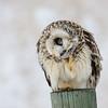 short-eared owl - having a scratch