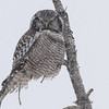 northern hawk owl wondering who in the heck is out in this kind of weather