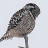 northern hawk owl...looking for lunch
