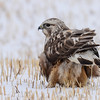Rough-legged Hawk getting ready to take off