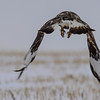 Rough-legged Hawk