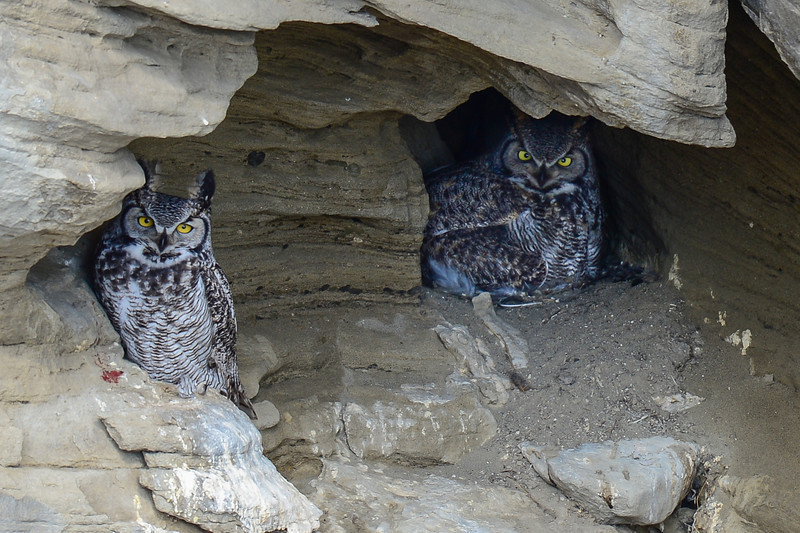 This update inlcudes the first pictures of the Male and Female Great Horned Owl at the cave nest.  For the first time in 2 years I was able to photograph them both at the nesting site. The incubation period ranges from 28 to 37 days, averaging 33 days. The female alone does all the incubation and rarely moves from the nest, while the male owl captures food and brings it to her.
