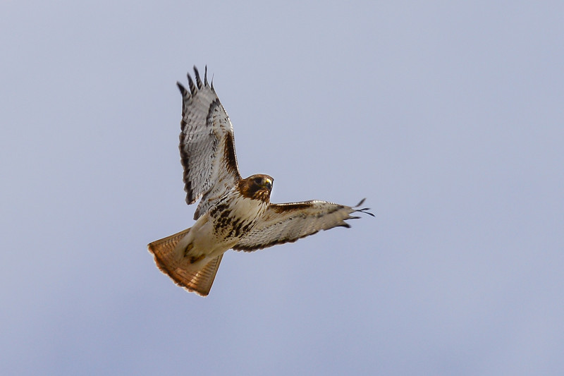 red-tailed hawk riding the wind