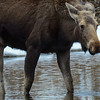 calf moose dripping water