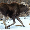 calf moose headed for the water