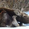 calf moose with an itch behind the ear