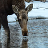 calf moose enjoying the cool pond water