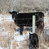 Mother cow is #44...she was nervous at first but settled down as I tried to guide the calf under the fence to join Mom.