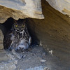 great horned owl, cave nest with owlets..she has 2 in the nest