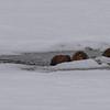 4 muskrats at an air hole