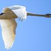 trumpiter swan
