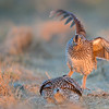 sharp-tailed grouse starting a fight