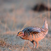 sharp-tailed grouse with sunrise refections