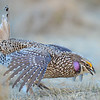 sharp-tailed grouse dancing