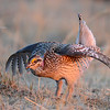 sharp-tailed grouse dancing in the sunlight