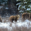 I spent 1 hour with this Mother Grizzly and her 2 cubs.  The were in a meadow along the forestry trunk road.