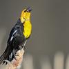 yellow-headed blackbird calling