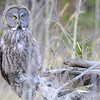 great gray owl hunting