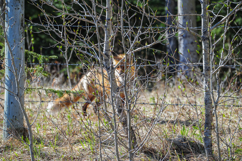 saw this Fox along the road side but it didn't stick around very long.   It was stocking a farm cat and the cat didn't even know it was there.  As soon as we slowed down ther fox took off.