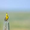 western meadowlark