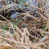 Black-Necked Stilt nest with 4 eggs....they blend so well they are not easy to see