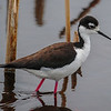 Black-Necked Stilt, this is the Mom guarding the nest