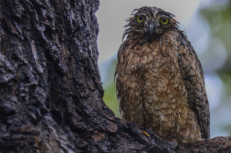 "Great Horned Owl In The Rain...he is saying ""Who knows when it will stop"""