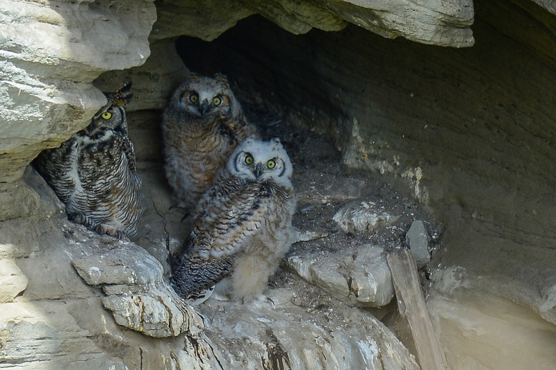 mom and the 2 owlets are still safe in the cave nest and they will soon be gone.