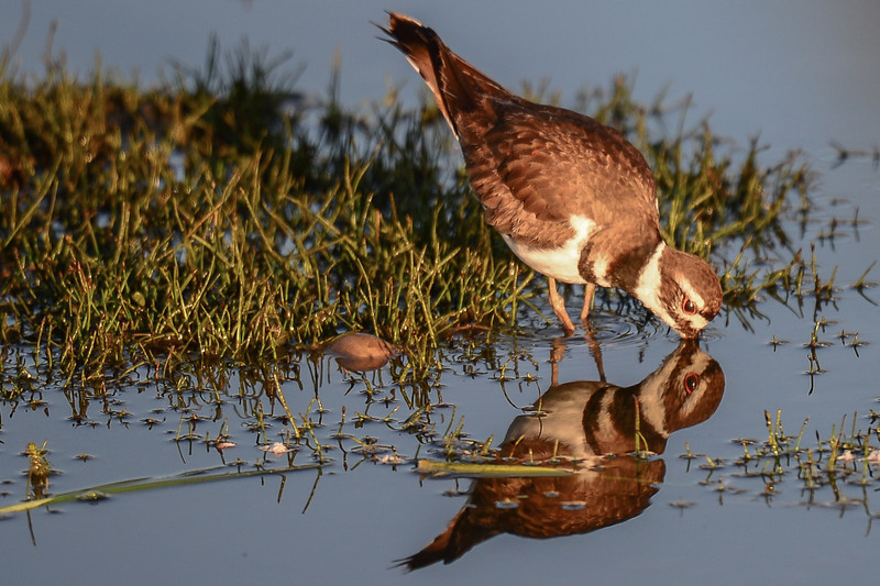 killdeer in the early morning sunlight checking in the mirror