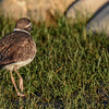 killdeer in the early morning sunlight...that swamp juice is wicked stuff...makes you fall over..lol