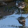 killdeer in the early morning sunlight...calm with blue sky and no rain