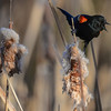 red-winged blackbird - male - calling for a mate