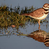 killdeer in the early morning sunlight