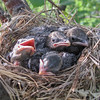 the nest is getting crowded and they are looking a lot more like real birds