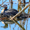 red-necked grebe on the nest