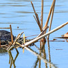 red-necked grebe nest close to the canada goose nest but separate nests