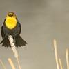 yellow-headed blackbird looking very stern