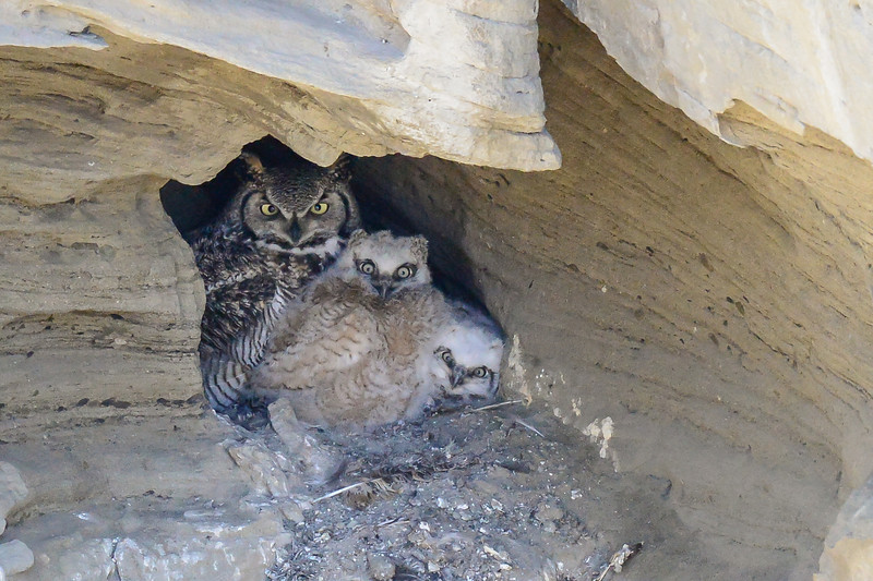 Great Horned Owl Family Living In A Cave Nest