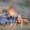 sharp-tailed grouse - males fighting