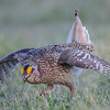 sharp-tailed grouse - the males have the yellow over their eyes