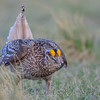 sharp-tailed grouse - male