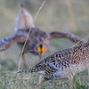 sharp-tailed grouse - female in front of dancing male
