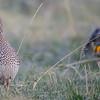 sharp-tailed grouse - female